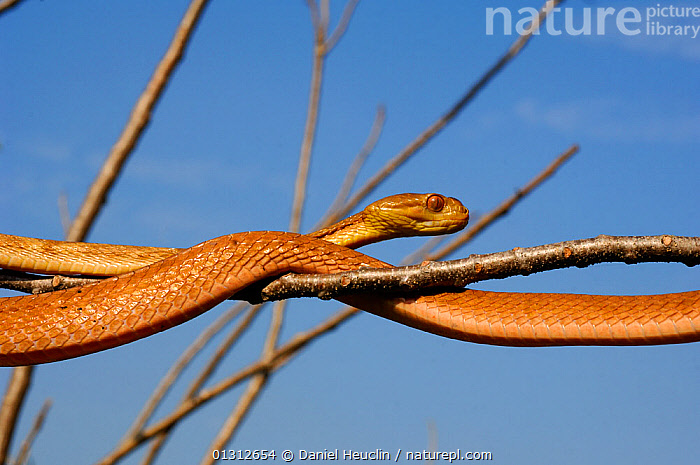 Philippine bluntheaded tree snake (Boiga philippina) moving over branches, Luzon, Philippines, January, Controlled conditions  ,  CLOSE UPS,COLUBRIDAE,COLUBRIDS,ENDEMIC,MOVEMENT,PHILIPPINES,PORTRAITS,REPTILES,SNAKE,SNAKES,VENOMOUS,VERTEBRATES  ,  Daniel Heuclin