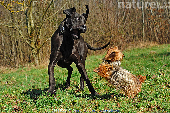 Great Dane (Canis familiaris) fighting with and Yorkshire terrier, in field, France  ,  AGGRESSION,BEHAVIOUR,COUNTRYSIDE,DOGS,EXTRA LARGE DOGS,FIGHTING,FRANCE,LARGE,LARGE DOGS,LITTLE,MIXED BREEDS,PETS,SIZE,SMALL DOG,TERRIERS,VARIATION,VERTEBRATES,WORKING DOGS,Concepts,Europe,Canids  ,  Daniel Heuclin