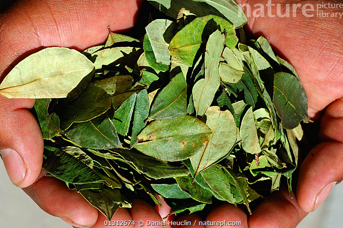 Coca leaves (Erythroxylum coca var. coca)  held in the hand, main commercial source of cocaine, South America  ,  COCAINE,DICOTYLEDONS,ERYTHROXYLACEAE,HANDS,LEAVES,MEDICINAL,PLANTS  ,  Daniel Heuclin