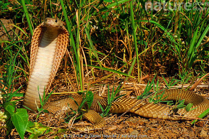 Philippines cobra (Naja naja philippinensis) with hood raised in aggressive / defensive posture.  Philippines. Controlled conditions  ,  AGGRESSION,BEHAVIOUR,COBRAS,DEFENSIVE,PHILIPPINES,PORTRAITS,REPTILES,SNAKES,SOUTH EAST ASIA,VERTEBRATES,Concepts  ,  Daniel Heuclin