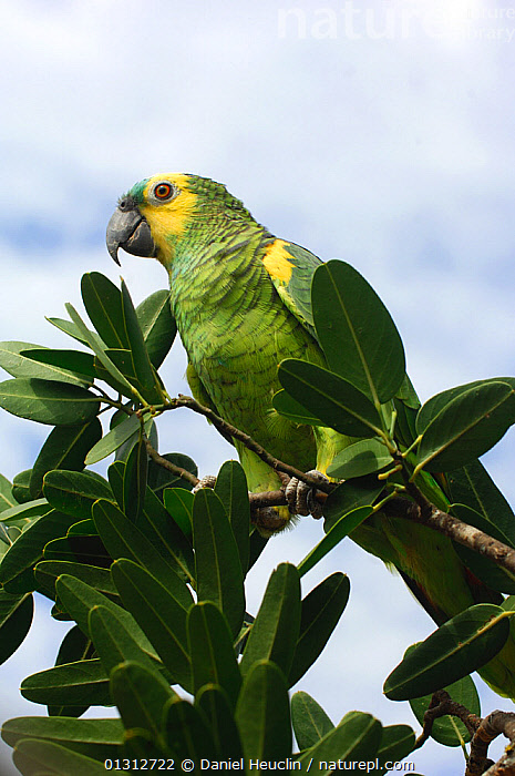 Orange-winged Amazon parrot (Amazona amazonica) perched in tree branch, Kaa-Lya national park. Gran chaco. S.E. Bolivia, South America  ,  BIRDS,GREEN,NP,PARROTS,PORTRAITS,SOUTH AMERICA,TROPICAL RAINFOREST,VERTEBRATES,VERTICAL,National Park  ,  Daniel Heuclin