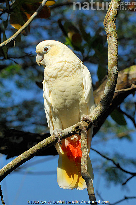 Philippine cockatoo (Cacatua haematuropygia) perched on tree branch, Philippines.