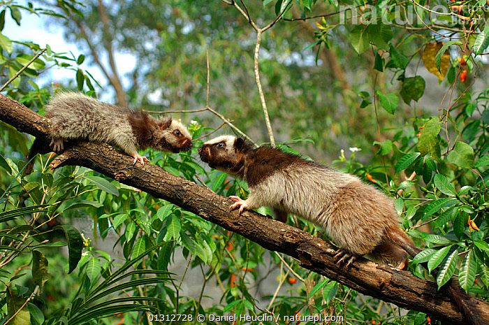 Northern luzon giant cloud rat (Phloeomys pallidus) with juvenile, from the Central cordillera mountain range, NW Luzon, Philippines, Captive.  ,  BABIES,CLIMBING,CUTE,FAMILIES,INTERACTION,JUVENILE,MAMMALS,MOTHER BABY,MURIDAE,RATS,RODENTS,SOUTH EAST ASIA,VERTEBRATES  ,  Daniel Heuclin