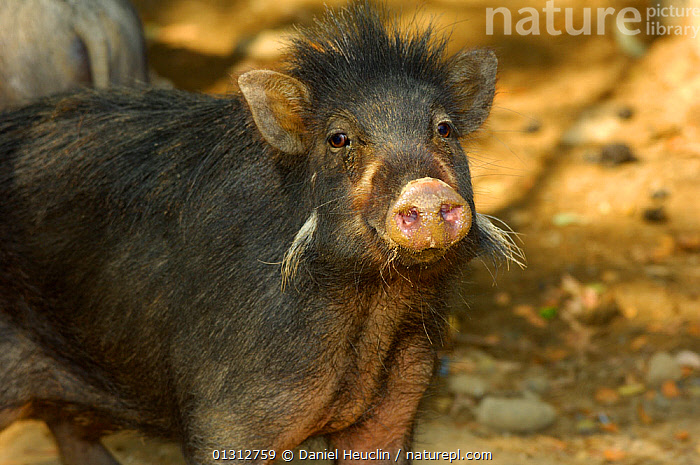 Philippines warty pig (Sus philippensis) head portrait. Found in Luzon, Mindoro, Catanduanes, Mindanao. Philippines, Endemic and endangered. Captive  ,  ARTIODACTYLA,ENDANGERED,MAMMALS,PIGS,PORTRAITS,SOUTH EAST ASIA,SUIDS  ,  Daniel Heuclin