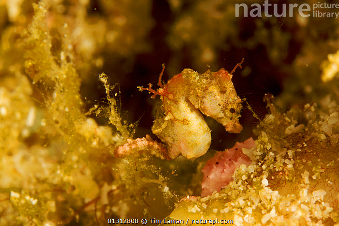 An unnamed Pygmy seahorse (Hippocampus) one of several pygmy seahorse species in Raja Ampat, West Papua, Indonesia, April 2007  ,  CAMOUFLAGE,FISH,INDONESIA,INDO PACIFIC,MARINE,OCEANS,OSTEICHTHYES,SEAHORSES,TROPICAL,UNDERWATER,VERTEBRATES,SOUTH-EAST-ASIA,Asia  ,  Tim Laman