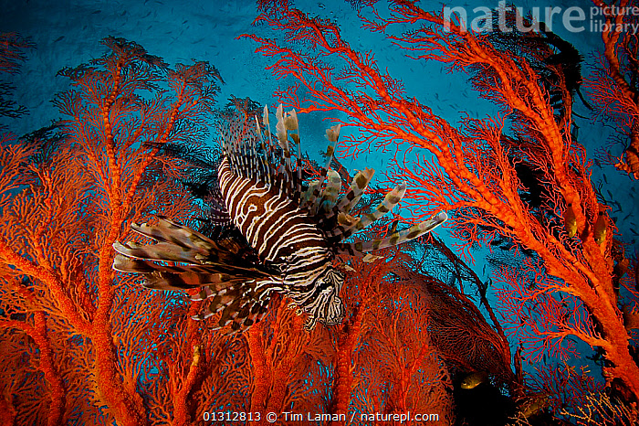 Lionfish (Pterois) hovering in a Sea Fan in a view looking toward the surface of the water. Misool Island vicinity. Near smaller island of Fiabacet. West Papua, Indonesia, April 2007, ASIA,black and white,catalogue3,COLOURFUL,complexity,CORAL REEFS,distortion,Fiabacet,INDONESIA,INDO PACIFIC,Irian Jaya,LIONFISH,low angle view,MARINE,marine life,Misool Island,Nobody,OCEANS,one animal,orange colour,PTEROIS,RED,sea fan,SEALIFE,SOUTH EAST ASIA,striped pattern,STRIPES,TROPICAL,UNDERWATER,WATER,WEST PAPUA,WEST PAPUA,SOUTH-EAST-ASIA,NEW-GUINEA,core collection xtwox, Tim Laman