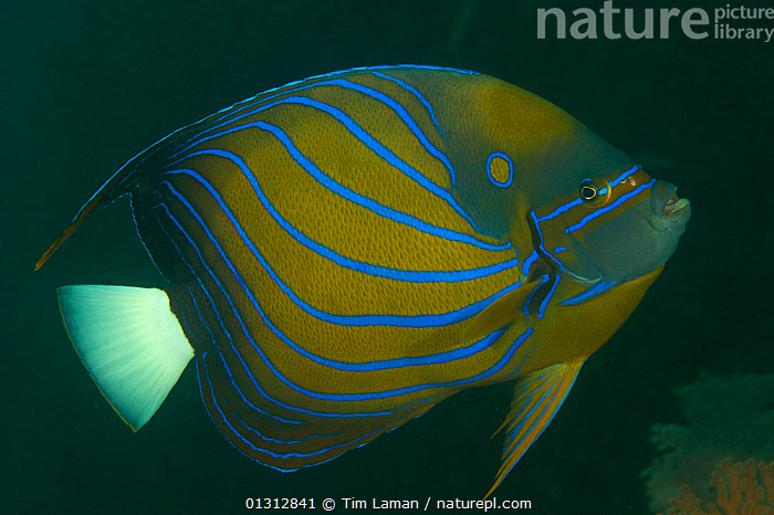 Blue Ring Angelfish (Pomacanthus annularis) portrait, Raja Ampat Islands, West Papua Province, Indonesia. April 2007  ,  COLOURFUL, FISH, INDONESIA, INDO-PACIFIC, MARINE, OCEANS, OSTEICHTHYES, TROPICAL, VERTEBRATES, WEST PAPUA,SOUTH-EAST-ASIA,Asia  ,  Tim Laman
