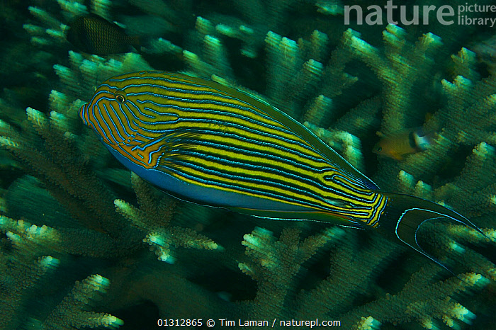 Striped Surgeonfish (Acanthurus lineatus) swimming over hard coral reef, Raja Ampat, Indonesia, May 2007  ,  CORAL REEFS,FISH,INDONESIA,INDO PACIFIC,MARINE,OCEANS,OSTEICHTHYES,SURGEONFISH,TROPICAL,UNDERWATER,VERTEBRATES,WEST PAPUA,SOUTH-EAST-ASIA,Asia,core collection xtwox  ,  Tim Laman
