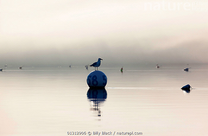 Gull (Larinae) sitting on mooring ball in calm waters on misty day. Robinhood, Maine, USA, July 2010.  ,  ATMOSPHERIC,Balance,BIRDS,buoy,BUOYS,CALM,catalogue3,coastal,GULLS,horizon over water,Maine,MIST,misty,mooring ball,nautical,Nobody,NORTH AMERICA,number 58,numeral,one animal,outdoors,PEACEFUL,Perching,REFLECTIONS,Robinhood,sea,SEABIRDS,Silence,tranquil,USA,VERTEBRATES,watchful,WATER,WEATHER,WILDLIFE  ,  Billy Black