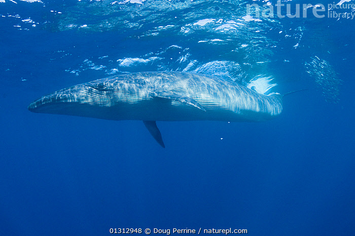 Bryde's whale (Balaenoptera brydei / edeni) swimming past a baitball of Sardines (Clupeidae) off Baja California, Mexico, Eastern Pacific Ocean, November  ,  BALAENOPTERA,BALAENOPTERIDAE,BLUE,CETACEANS,CLUPEIDAE,FISH,HUNTING,MAMMALS,MEXICO,MIXED SPECIES,OCEAN,PACIFIC,UNDERWATER,VERTEBRATES,WATER,WHALES,CENTRAL-AMERICA,,Baleen whale,  ,  Doug Perrine