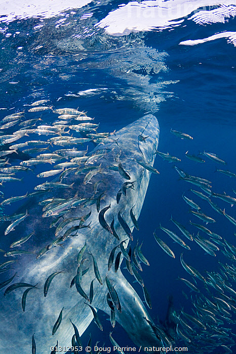 Bryde's whale (Balaenoptera brydei / edeni) swimming past a baitball of Sardines (Clupeidae) off Baja California, Mexico, Eastern Pacific Ocean, November  ,  baitball,Baja California,Balaenoptera,Balaenopteridae,BEHAVIOUR,BLUE,catalogue3,close up,CLOSE UPS,Clupeidae,Eastern Pacific Ocean,FISH,HUNTING,large group,large group of animals,marine life,MEXICO,MIXED SPECIES,multitude,Nobody,OCEAN,PACIFIC,pacific ocean,PREDATION,sardines,school of fish,SEALIFE,shoals,SWIMMING,UNDERWATER,VERTICAL,WATER,CENTRAL-AMERICA,core collection xtwox,,Baleen whale,  ,  Doug Perrine
