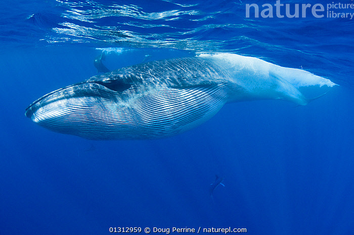 Bryde's whale (Balaenoptera brydei / edeni) with throat pleats expanded after feeding on baitball of Sardines (Clupeidae) Off Baja California, Mexico, Eastern Pacific Ocean, November  ,  BALAENOPTERA,BALAENOPTERIDAE,BEHAVIOUR,BLUE,CETACEANS,FEEDING,HUNTING,MAMMALS,MEXICO,OCEAN,PACIFIC,PREDATION,UNDERWATER,VERTEBRATES,WATER,WHALES,CENTRAL-AMERICA,core collection xtwox,,Baleen whale,  ,  Doug Perrine