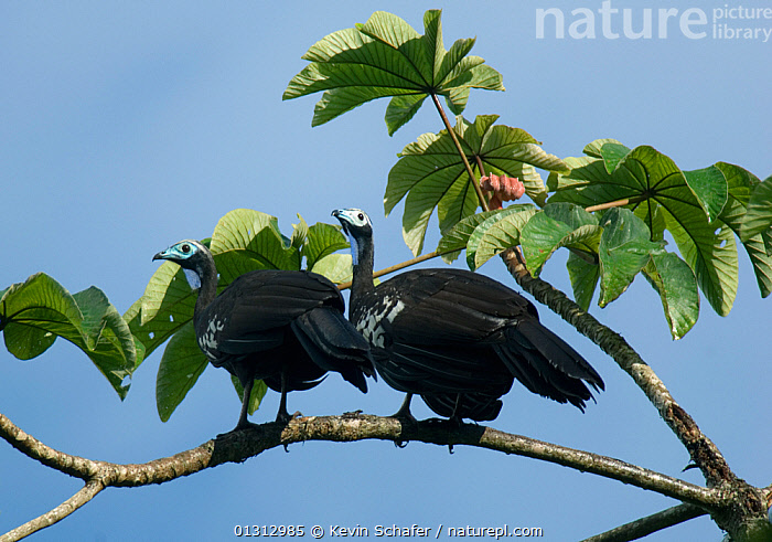 Two Trinidad / Blue throated piping guans (Pipile pipile) perched in tree, Trinidad, Critically endangered species  ,  BIRDS, CARIBBEAN, ENDANGERED, GUANS, two, VERTEBRATES,West Indies  ,  Kevin Schafer