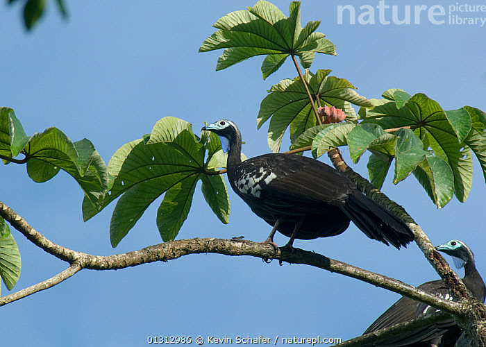 Trinidad / Blue throated piping guans (Pipile pipile) perched in tree, Trinidad, Critically endangered species  ,  BIRDS, CARIBBEAN, CRITICALLY-ENDANGERED, GUANS, PIPILE-PIPILE, VERTEBRATES,West Indies  ,  Kevin Schafer