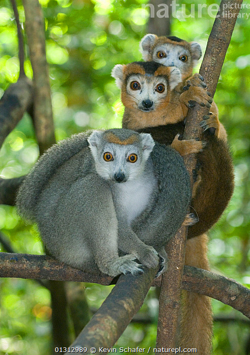 Crowned lemurs (Eulemur coronatus) family group, Ankarana NP, Madagascar, Vulnerable species, ENDANGERED,FAMILIES,GROUPS,LEMUR CORONATUS,LEMURS,MADAGASCAR,MAMMALS,MOTHER BABY,NP,PRIMATES,RESERVE,VERTEBRATES,VERTICAL,National Park, Kevin Schafer