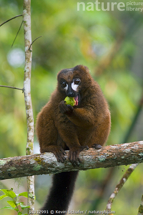 Red-bellied lemur (Eulemur rubriventer) male sitting on branch, eating guava fruit, Mantadia NP, Madagascar, Wild, Vulnerable species  ,  ENDANGERED,FEEDING,FRUIT,LEMURS,MADAGASCAR,MAMMALS,NP,PRIMATES,RESERVE,VERTEBRATES,VERTICAL,VULNERABLE,Plants,National Park  ,  Kevin Schafer