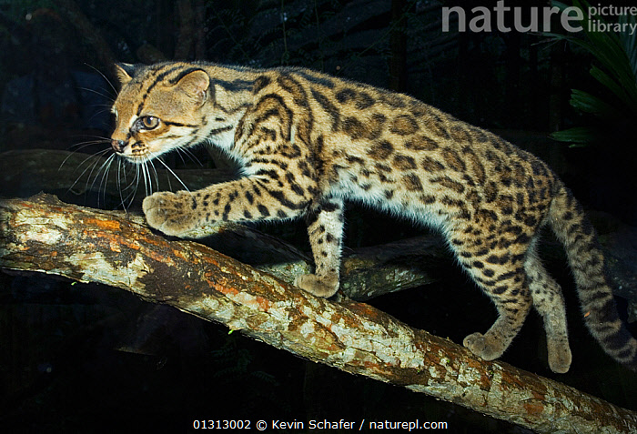 Oncilla / Tiger Cat (Leopardus tigrinus) Costa Rica, Captive, Vulnerable species  ,  CARNIVORE,CATS,CENTRAL AMERICA,ENDANGERED,FELIDAE,MAMMALS,NIGHT,NOCTURNAL,TIGER CAT,TROPICAL RAINFOREST,VERTEBRATES,VULNERABLE  ,  Kevin Schafer