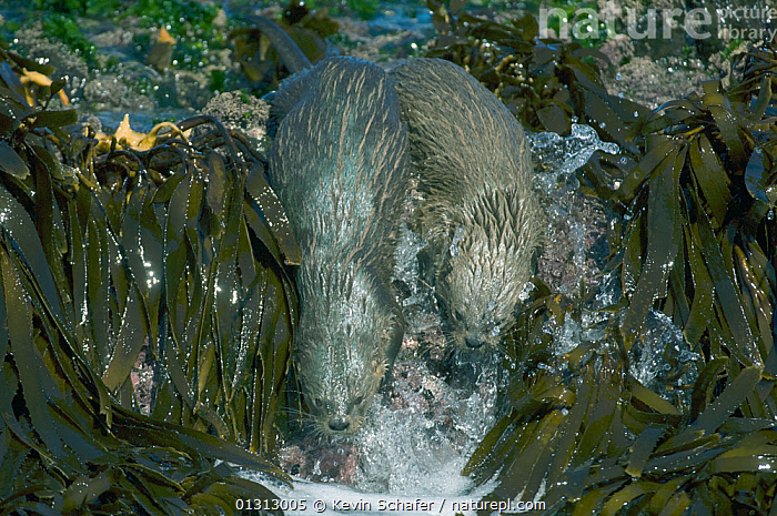 Nature Picture Library - Marine otter / Chungungo (Lontra felina