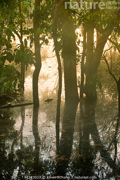 Flooded Forest, Rio Negro, Amazonia, Brazil, July 2008  ,  ARTY SHOTS,ATMOSPHERIC,FLOODS,REFLECTIONS,SOUTH AMERICA,TREES,TROPICAL RAINFOREST,TRUNKS,VARZEA,VERTICAL,WATER,SOUTH-AMERICA,PLANTS  ,  Kevin Schafer