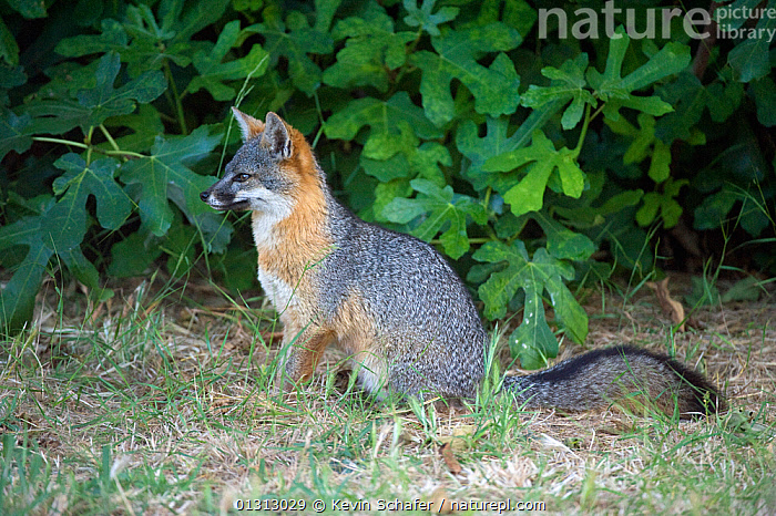 Island fox (Urocyon littoralis) wild, Santa Cruz Island, Channel Islands NP, California, USA, Critically endangered, March  ,  CARNIVORES,CRITICALLY ENDANGERED,ENDEMIC,FOXES,MAMMALS,NIGHT,NP,RESERVE,USA,VERTEBRATES,National Park,North America,Dogs,Canids  ,  Kevin Schafer