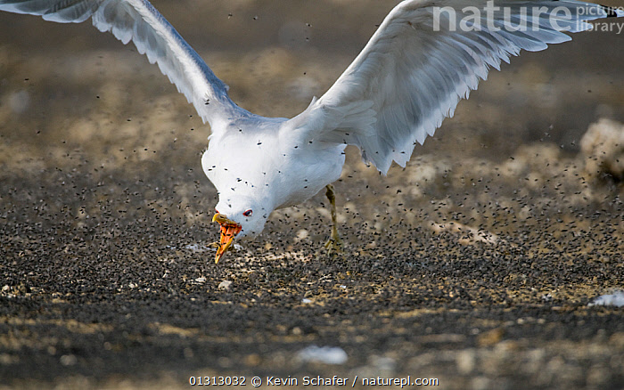 California gull (Larus californicus) catching Alkali flies (Ephydra hians) in the air, Mono Lake, Eastern California, USA, August  ,  BEHAVIOUR,BIRDS,DIPTERA,FEEDING,FLIES,GULLS,INSECTS,INTERESTING,MASS,PREDATION,SEABIRDS,SWARM,SWARMS,USA,VERTEBRATES,Invertebrates,North America  ,  Kevin Schafer