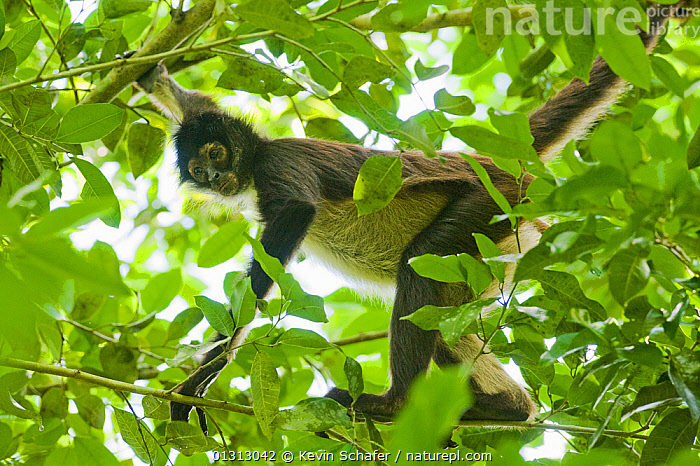 Yucatan Spider Monkey (Ateles geoffroyi yucatanensis) in tree canopy, Calakmul Biosphere Reserve, Mexico, Endangered species  ,  CENTRAL AMERICA,LOW ANGLE SHOT,MAMMALS,MONKEYS,PRIMATES,RESERVE,SPIDER MONKEYS,VERTEBRATES  ,  Kevin Schafer