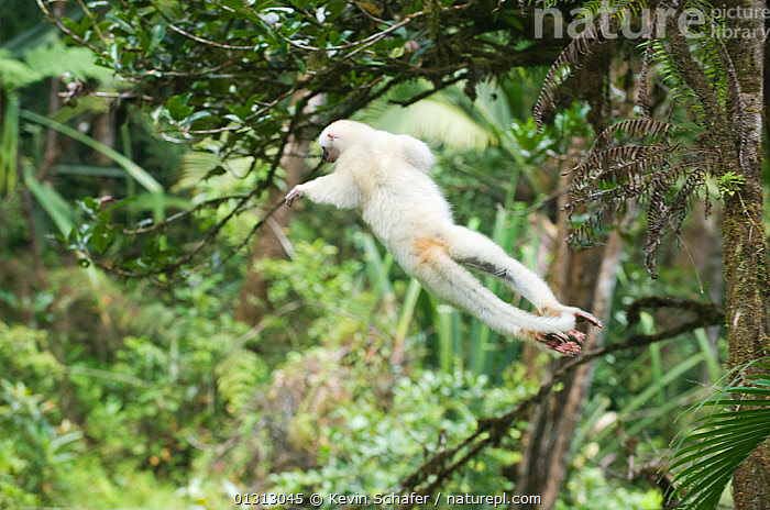 Silky sifaka (Propithecus candidus) leaping through tree canopy, Marojejy National Park, Madagascar, Endangered species  ,  BEHAVIOUR,ENDANGERED,HIGH ANGLE SHOT,JUMPING,LEAPING,LEMURS,MADAGASCAR,MAMMALS,PRIMATES,RESERVE,SIFAKAS,VERTEBRATES  ,  Kevin Schafer