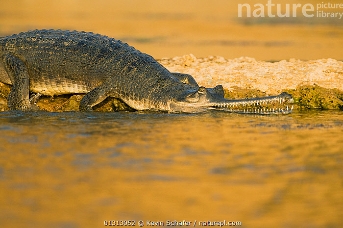 Indian gharial (Gavialis gangeticus) Chambal National Sanctuary, Madhya Pradesh, India,  Critically Endangered  ,  ASIA,CRITICALLY ENDANGERED,CROCODILIANS,FRESHWATER,GHARIALS,INDIAN SUBCONTINENT,REPTILES,RESERVE,SURFACE,TROPICAL,VERTEBRATES,Crocodylia  ,  Kevin Schafer