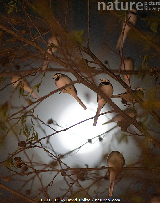 Pied wagtails (Motacilla alba yarrellii) silhouetted against the moon, roosting in tree in shopping centre. Kent, UK, December  ,  BACKGROUNDS,BIRDS,BRANCHES,catalogue3,Christmas,close up,CLOSE UPS,December,ENGLAND,EUROPE,FLOCKS,full frame,GROUPS,kent,magical,medium group,medium group of animals,MOON,moonlight,mysterious,mystery,NIGHT,Nobody,outdoors,Perching,roost,roosting,safety in numbers,SILHOUETTES,solar system,songbirds,Tree,UK,URBAN,VERTEBRATES,VERTICAL,WAGTAIL,WAGTAILS,WINTER,United Kingdom,,Surreal,  ,  David Tipling