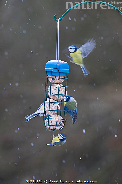 Blue tits (Parus caeruleus) and Great tits (Parus major) on fat feeder in garden. Norfolk, UK, winter  ,  ACTION,BIRDS,ENGLAND,EUROPE,FEEDERS,FEEDING,FLYING,PARIDAE,SNOW,SNOWING,SONGBIRDS,TITS,UK,VERTEBRATES,WINTER,United Kingdom  ,  David Tipling