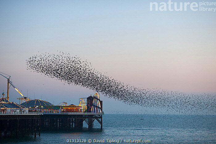 Flock of Common starlings (Sturnus vulgaris) arriving to roost at Palace Pier, Brighton. UK, February 2010  ,  BIRDS,BUILDINGS,COASTS,DUSK,ENGLAND,EUROPE,EVENING,FLOCKS,FLYING,GROUPS,ROOST,ROOSTING,SONGBIRDS,STARLINGS,UK,URBAN,VERTEBRATES,United Kingdom  ,  David Tipling