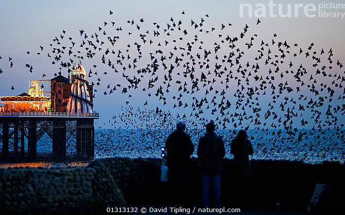 Three people watching common starlings (Sturnus vulgaris) arriving to roost at Palace Pier Brighton. UK, February, BEHAVIOUR,BIRDS,brighton,catalogue3,coastal,DUSK,ENGLAND,EUROPE,Evening,flight,flock of birds,FLOCKS,FLYING,full length,funfair,GROUPS,helter skelter,ILLUMINATED,large group,large group of animals,lit up,MEN,NIGHT,outdoors,Palace Pier,PEOPLE,pier,rear view,roosting,sea,sea wall,songbirds,STANDING,STARLINGS,three people,UK,URBAN,VERTEBRATES,view to sea,watching,WOMEN,United Kingdom, David Tipling