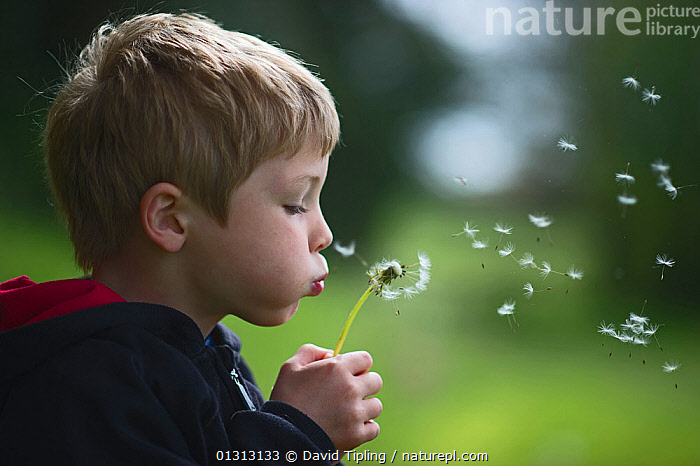 Young boy blowing a dandelion head (Taraxacum officinale) in a forest. Norfolk, UK, May. Model released, ASTERACEAE,BLOWING,Boy,boys,catalogue3,Caucasian,child nature,Childhood,CHILDREN,Clock,COMPOSITAE,Dandelion,DICOTYLEDONS,ENGLAND,ENVIRONMENTAL,EUROPE,explore,Exploring,forest,fun,kid,may,nature,Norfolk,one person,outdoors,PEOPLE,PLANTS,PROFILE,SEEDS,side view,time ,UK,United Kingdom, David Tipling