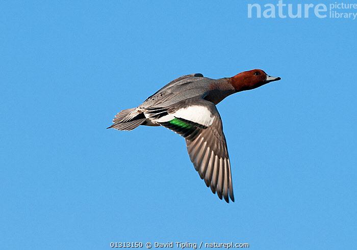 European wigeon (Anas penelope) in flight. Buckenham Marshes RSPB Reserve, Norfolk, UK, winter  ,  ACTION,BIRDS,DUCKS,ENGLAND,EUROPE,FLYING,UK,VERTEBRATES,WATERFOWL,United Kingdom  ,  David Tipling