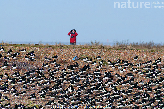 Oystercatchers (Haematopus ostralegus) at high tide roost, with person birdwatching in the background.  Snettisham, Norfolk, March  ,  BIRDS,BIRDWATCHING,ENGLAND,EUROPE,FLOCKS,GROUPS,OYSTERCATCHERS,PEOPLE,ROOSTING,UK,VERTEBRATES,WADERS,United Kingdom  ,  David Tipling