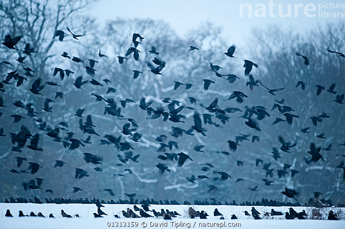 Rooks (Corvus frugilegus) gathering at roost in snowy woodlands. Buckenham, Norfolk,January  ,  ACTION,BACKGROUNDS,BIRDS,BLACK,buckenham,catalogue3,CORVIDS,CROWS,ENGLAND,EUROPE,flock of birds,FLOCKS,FLYING,FORESTS,full frame,gathering,GROUPS,January,large group,large group of animals,many,multitude,Nobody,Norfolk,outdoors,roosting,SNOW,songbirds,spooky,TREES,UK,VERTEBRATES,WILDLIFE,WINTER,WOODLANDS,PLANTS,United Kingdom  ,  David Tipling