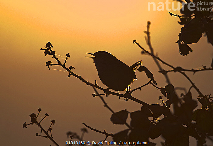 Wren (Troglodytes troglodytes) in song at dawn. Norfolk, UK, April  ,  BIRDS,DAWN,ENGLAND,EUROPE,SILHOUETTES,SINGING,SONGBIRDS,SPRING,UK,VERTEBRATES,WRENS,United Kingdom  ,  David Tipling
