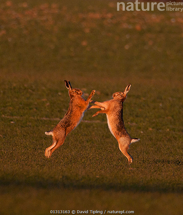 European brown hare (Lepus europaeus) boxing in spring. Norfolk, UK, March  ,  ACTION,AGGRESSION,animals in the wild,BOXING ,BROWN HARE,catalogue3,COURTSHIP,ENGLAND,EUROPE,face to face,FIGHTING,full length,fun,HARES,HUMOROUS,humour,lagomorphs,MALE FEMALE PAIR,MAMMALS,march,MATING BEHAVIOUR,mid air,Nobody,Norfolk,outdoors,playful,PROFILE,rivalry,side view,springtime,two animals,UK,VERTEBRATES,VERTICAL,WILDLIFE,Concepts,United Kingdom  ,  David Tipling