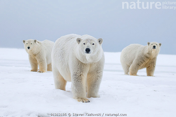 Polar bear (Ursus maritimus) female with cubs aged two years, along a barrier island during fall freeze up, Barter Island, 1002 area of the Arctic National Wildlife Refuge, Alaska  ,  ARCTIC,AUTUMN,BABIES,CUBS,FAMILIES,HORIZONTAL,JUVENILE,MOTHER,NORTH AMERICA,POLAR,SNOW,THREE,USA  ,  Steven Kazlowski