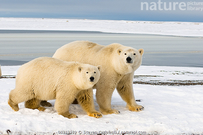 Polar bear (Ursus maritimus) female with cubs aged two years, along a barrier island during fall freeze up, Barter Island, 1002 area of the Arctic National Wildlife Refuge, Alaska  ,  ARCTIC,AUTUMN,BEARS,CARNIVORES,CUBS,ENDANGERED,FAMILIES,HORIZONTAL,MAMMALS,MARINE,MOTHER,NORTH AMERICA,POLAR,PORTRAITS,SNOW,THREE,USA,VERTEBRATES  ,  Steven Kazlowski