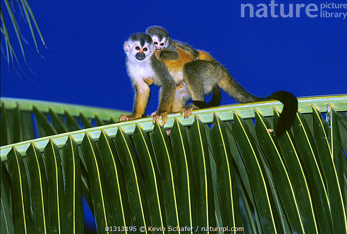Central American / Red-backed squirrel monkey (Saimiri oerstedii) mother carrying baby on her back, Costa Rica, Vulnerable species  ,  CENTRAL AMERICA,FAMILIES,MAMMALS,MONKEYS,MOTHER BABY,PALMS,PRIMATES,SQUIRREL MONKEYS,VERTEBRATES  ,  Kevin Schafer