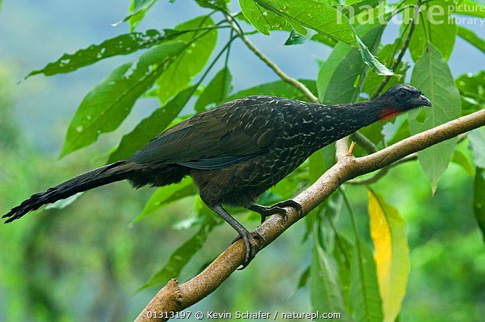 Dusky-legged guan (Penelope obscura) Itatiaia National Park, Southeast Brazil.  ,  BIRDS,GUANS,SOUTH AMERICA,TROPICAL RAINFOREST,VERTEBRATES  ,  Kevin Schafer