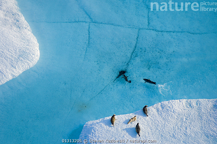 Aerial view of Ringed seals (Phoca hispida) on multi-layer ice (freshwater pans formed over many years where salt is squeezed out of the ice) with exit hole underneath ocean, Chukchi Sea, 20 miles offshore from Point Barrow, Arctic Alaska  ,  aerial view,AERIALS,alaska,animals in the wild,ARCTIC,book,CARNIVORES,CATALOGUE2,Chukchi sea,COASTS,contrasts,Cracked,departure,elevated view,exit hole,exploration,floe,FRESHWATER,ICE,MAMMALS,MARINE,nature,Nobody,NORTH AMERICA,outdoors,PINNIPEDS,Point Barrow,SEALIFE,SEALS,seas,TURQUOISE,USA,VERTEBRATES,WATER,core collection xtwox  ,  Steven Kazlowski