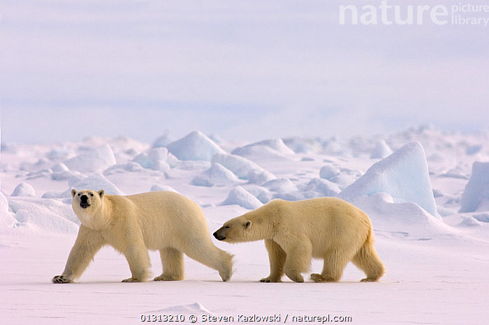 Polar bear (Ursus maritimus) pair walking in rough ice on the frozen eastern Chukchi Sea, Arctic Alaska  ,  alaska,ARCTIC,BEARS,book,CARNIVORES,COASTS,ENDANGERED,ICE,MAMMALS,MARINE,NORTH AMERICA,POLAR,SNOW,USA,VERTEBRATES  ,  Steven Kazlowski