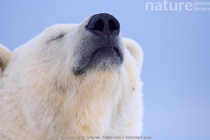 Polar bear (Ursus maritimus) head portrait of adult scenting the wind, Arctic National Wildlife Refuge, Alaska  ,  adult animal,alaska,animal head,animal nose,appreciation,ARCTIC,Arctic National Wildlife refuge,BEARS,blue background,book,CARNIVORES,CATALOGUE2,close up,CLOSE UPS,copyspace,ENDANGERED,eyes closed,FUR,head back,HEADS,HUMOROUS,humour,ICE,looking up,MAMMALS,MARINE,Nobody,NORTH AMERICA,NOSES,one animal,outdoors,POLAR,POPULATION,PORTRAITS,scent,senses,sniffing,SNOW,TUNDRA,USA,VERTEBRATES,WHITE,white colour,Wildlife Refuge,WIND,Concepts,Weather  ,  Steven Kazlowski