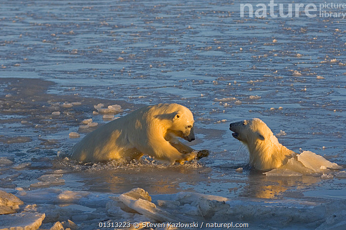 Two Polar bear (Ursus maritimus) cubs playing in slushy ice-water, Bernard Spit, Arctic National Wildlife Refuge, Alaska  ,  ARCTIC,BEARS,book,CARNIVORES,COASTS,ENDANGERED,ICE,MAMMALS,MARINE,NORTH AMERICA,play,SNOW,USA,VERTEBRATES,WATER,Communication  ,  Steven Kazlowski