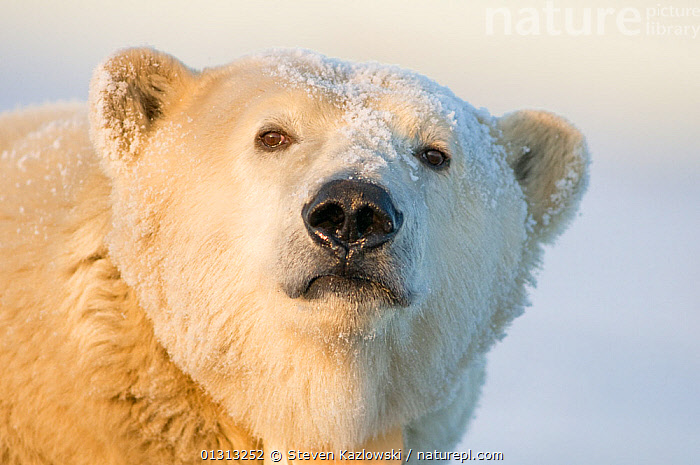 Polar bear (Ursus maritimus) portrait of a tagged and collared female in early autumn, with snow on her face. Barter Island, 1002 area of the Arctic National Wildlife Refuge, Alaska  ,  alaska,ARCTIC,BEARS,book,CARNIVORES,CONSERVATION,CUTE,ENDANGERED,FEMALES,ICE,MAMMALS,MARINE,NORTH AMERICA,POLAR,PORTRAITS,RESEARCH,SNOW,USA,VERTEBRATES  ,  Steven Kazlowski
