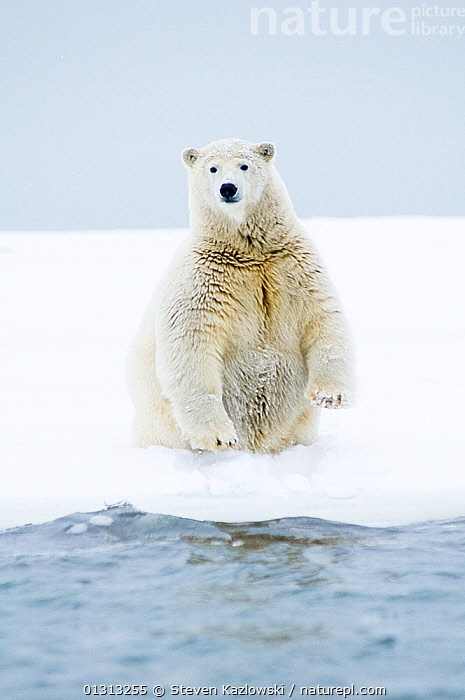 Polar bear (Ursus maritimus) portrait of young male sitting on a barrier island during autumn freeze up, Bernard Spit, 1002 area of the Arctic National Wildlife Refuge, Alaska  ,  alaska,ARCTIC,BEARS,book,CARNIVORES,ENDANGERED,ICE,JUVENILE,MALES,MAMMALS,MARINE,NORTH AMERICA,PORTRAITS,SITTING,SNOW,USA,VERTEBRATES,VERTICAL,WATER,YOUNG,core collection xtwox  ,  Steven Kazlowski