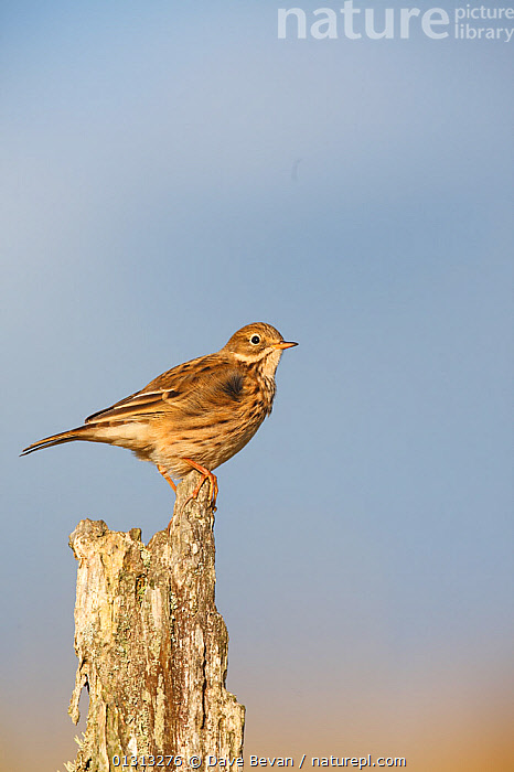 Meadow pipit (Anthus pratensis) perching on fence post, Carmarthenshire, Wales, UK  ,  BIRDS,EUROPE,PIPITS,PROFILE,SONGBIRDS,UK,VERTEBRATES,VERTICAL,WALES,United Kingdom  ,  Dave Bevan