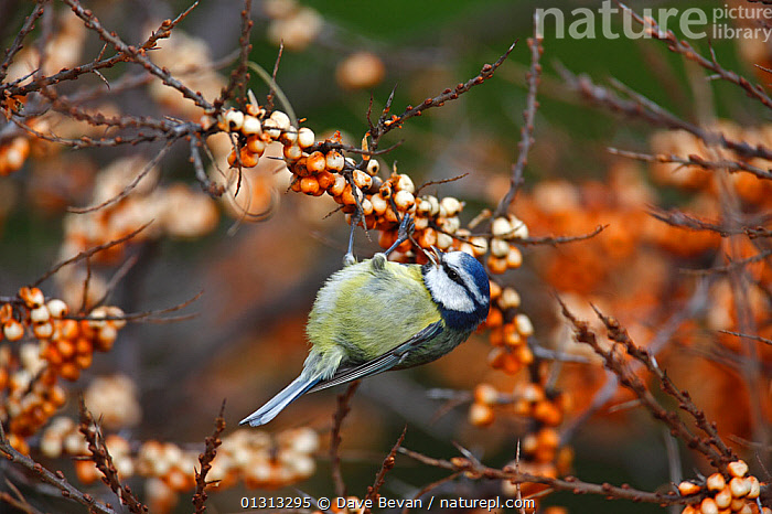 Blue tit (Parus caeruleus) feeding on Sea buckthorn berries (Hippophae rhamnoides), Carmarthenshire, Wales, UK  ,  BERRIES,BIRDS,EUROPE,FEEDING,SONGBIRDS,TITS,UK,VERTEBRATES,WALES,United Kingdom  ,  Dave Bevan